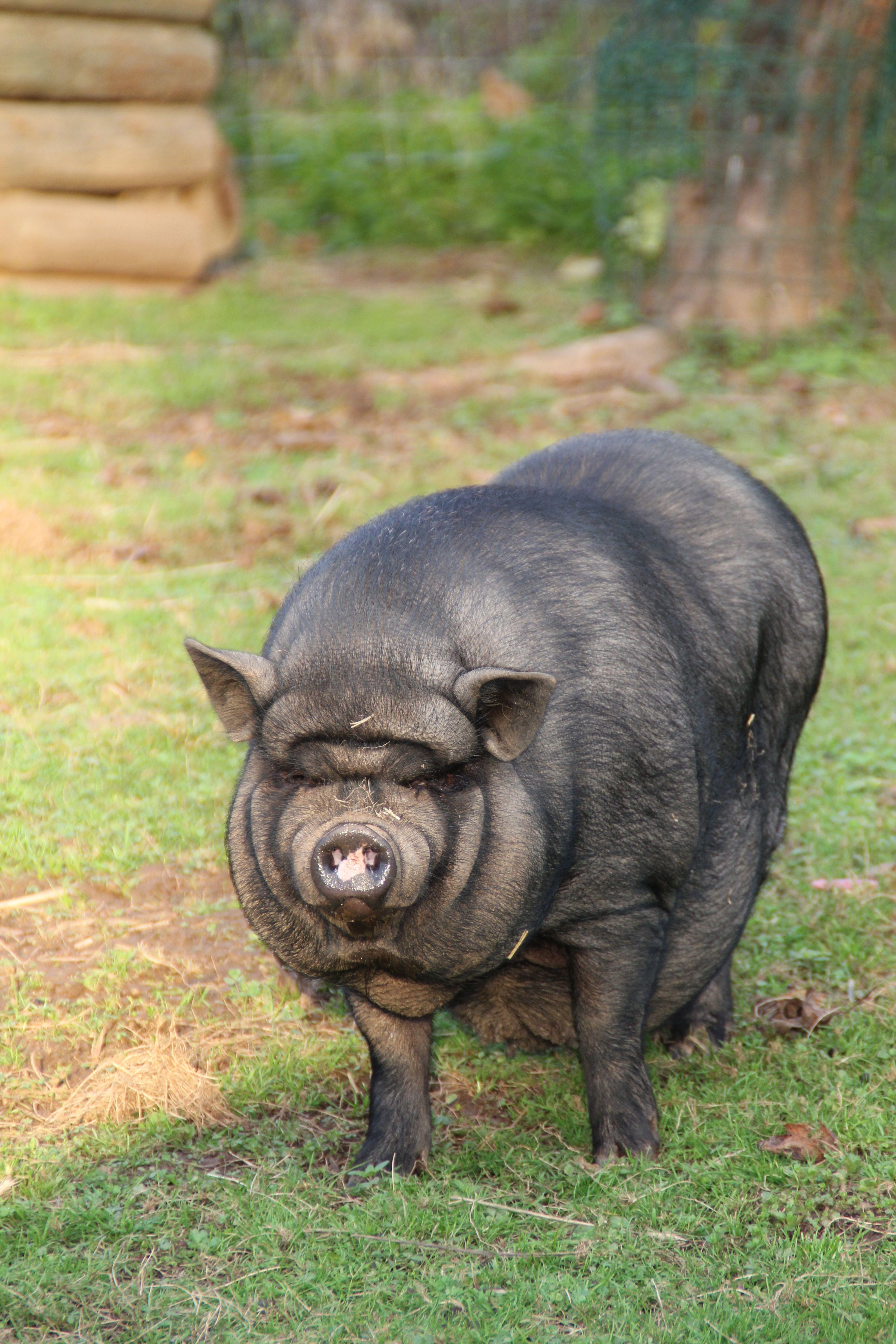 Cochon (4)