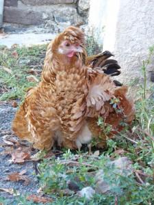 poule frisée et poussins